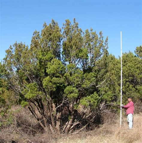 Gasification May Convert Mesquite And Juniper Wood To A