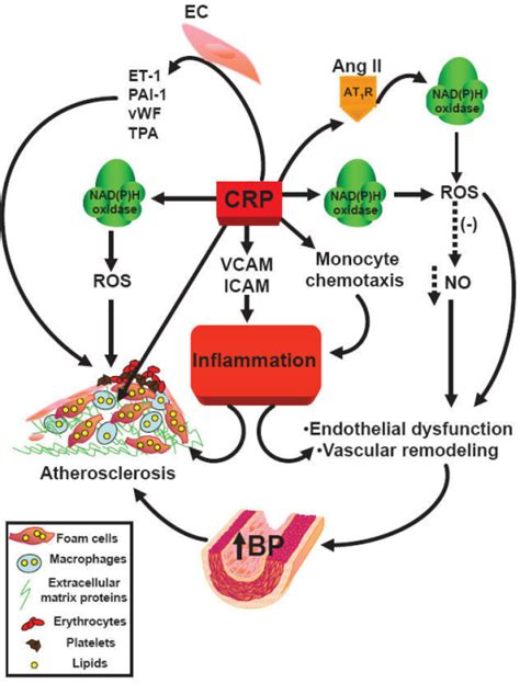 c protein inflammation scheme of c reactive protein induced inflammation abbre