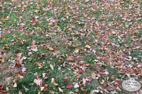 why would my dog start pooping in the house a fall challenge finding dog poop among the leaves life with dogs and cats