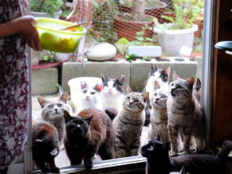 cat island japan it s like that quot cat lady quot but an bunny island fox village cat island a look into japan s