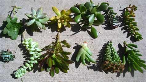succulents plants little lovables homefront succulent succulents