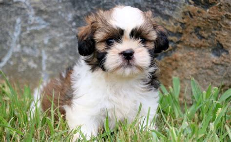 potty shih tzu puppy do you a shih tzu puppy how to take care of it