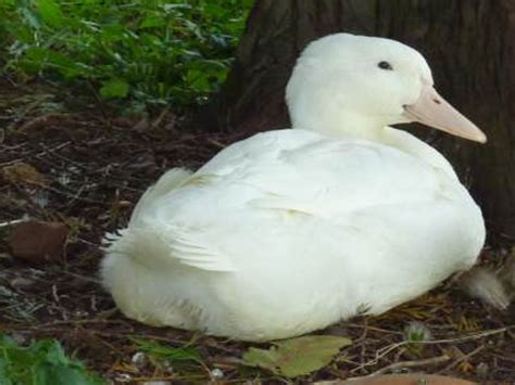 duck breeds duck breeds by country of origin