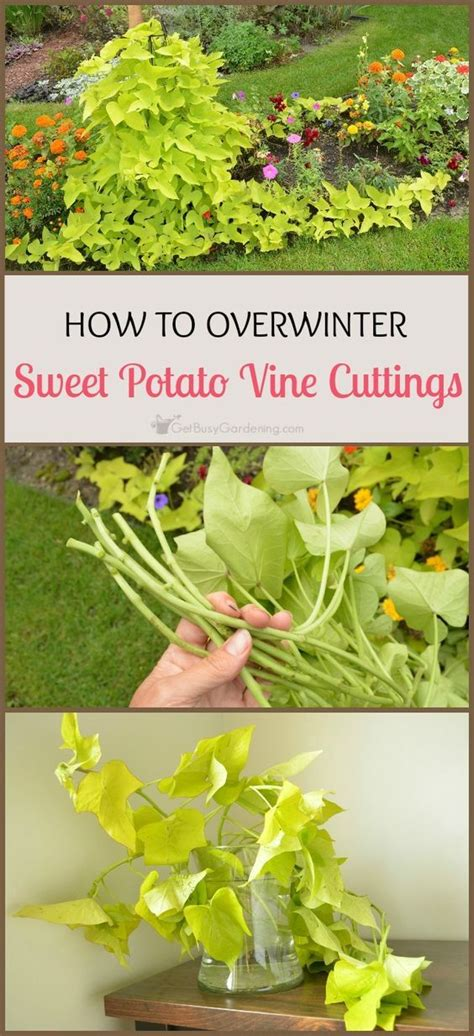 basic overwintering 25 best ideas about sweet potato vines on