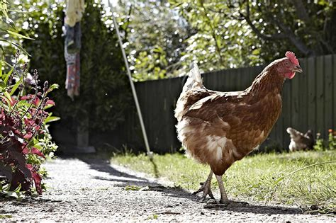 how to raise backyard chickens for eggs how to raise and keep broody hens for eggs