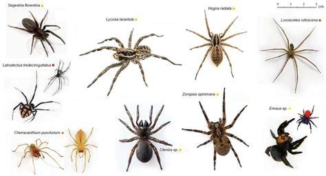 ragni di casa ragni e scorpioni cenni sul latrodectismo e tarantismo in