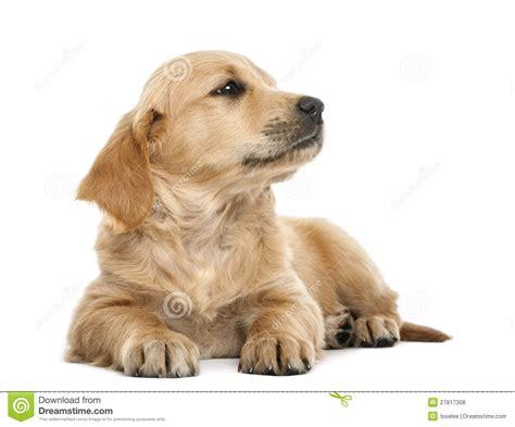 7 week golden retriever puppies golden retriever puppy 7 weeks lying royalty free stock photos image 27817308