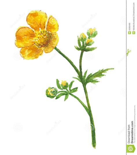gelbe blume der butterblume vektor abbildung bild 55060495