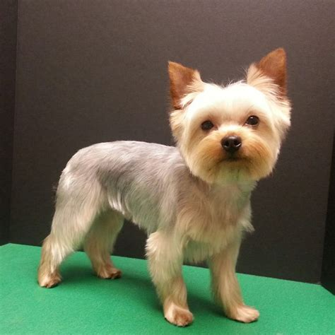 how to groom a yorkie puppy cut 25 best ideas about terrier haircut on yorkie