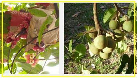 Pupuk Mencegah Bunga Rontok mengatasi agar buah dan bunga tanaman tidak rontok