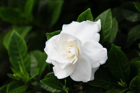 gardenia pianta da giardino come eliminare la cocciniglia dalle gardenie pollicegreen