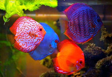 Makanan Ikan Hias Naga ikan hiasan akuarium tercantik seri laman