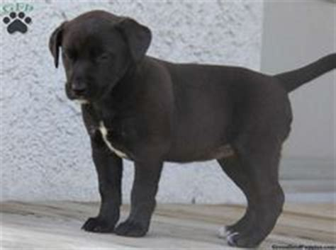 pitbull lab mix puppies for sale border collie pitbull mix pitbull and collie