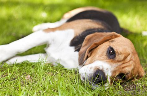 dogs lying why do dogs turn around three times before lying