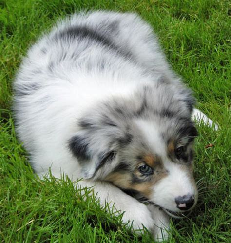 puppy finder indiana indiana the australian shepherd puppies daily puppy