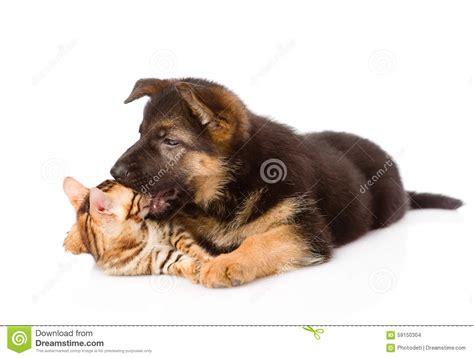 german shepherd puppy biting german shepherd puppy biting bengal cat isolated on white stock photo image