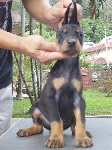doberman pinscher puppies for adoption doberman pinscher puppy