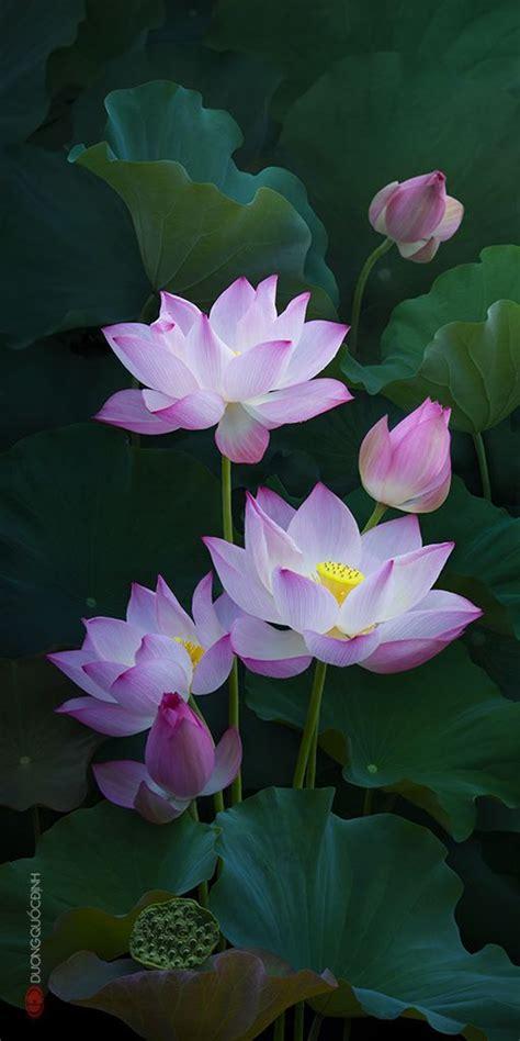 Lotus Flower Garden Best 25 Lotus Flowers Ideas On Lotus Flower Lotus And Meaning Of Lotus Flower