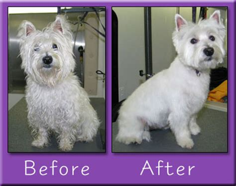 the dog house pet grooming photos of westie grooming styles search results hairstyle galleries