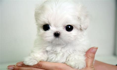 cutest teacup puppies omgggg teacup maltipoo puppies i need cutest dogs teacup maltipoo