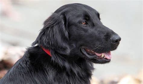 Flat Coat Retriever Shedding by Flat Coated Retriever Breed Information