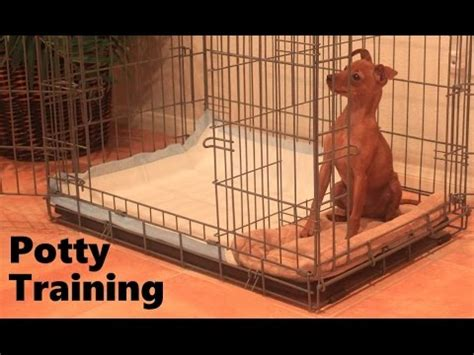 how to potty an fast ryu of the miniature pinscher loving cesar millan funnycat tv