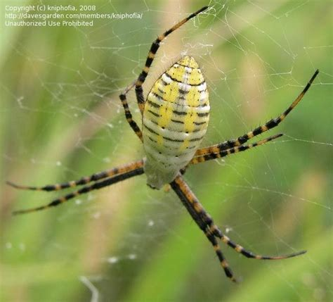 Banded Garden Spider Cycle Bug Pictures Banded Argiope Banded Garden Spider Banded