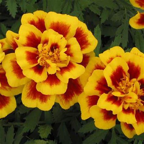 marigold safari yellow fire harris seeds