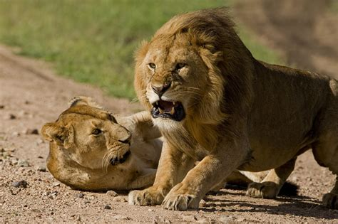 Dangerous 1 2t image gallery lions fighting for territory