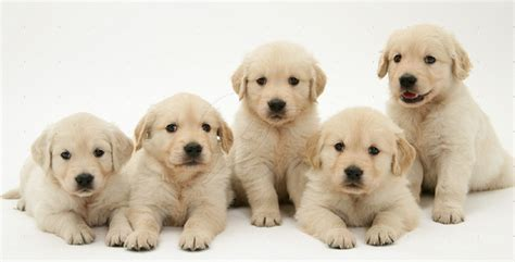 golden retriever names and meanings 77 yellow labrador retriever names lovable labradors