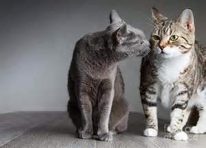 cat kiss photograph by nailia schwarz