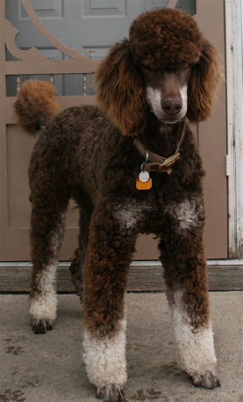 1000 images about doggy doos on pinterest poodles shih 1000 images about standard poodles on pinterest sheep