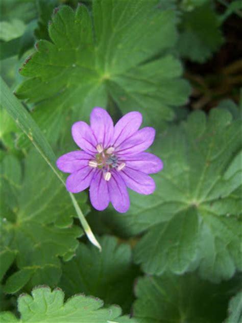 Geranium Sauvage Fleur by Images Photos Fleur De G 233 Ranium Sauvage