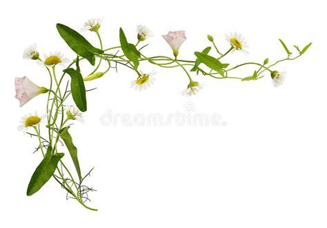 enredadera  flores  hojas de la margarita imagen de