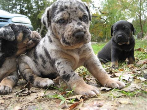 catahoula puppy for sale catahoula leopard puppies adopt a catahoula leopard breeds picture