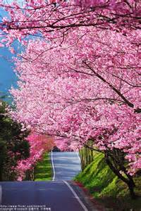pink spring tree blossoms photography pinterest