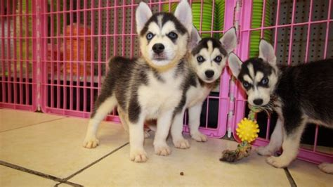 husky puppies for sale in ga amazing siberian husky puppies for sale in near atlanta ga at puppies for