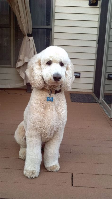 pictures of poodle haircuts haircuts for poodles fade haircut