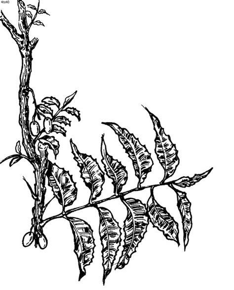 Coloring Pages Of Neem Tree | 390 best images about sri lanka and a little india on