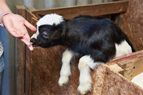 how to raise goats in your backyard how to raise goats in your backyard 28 images how to