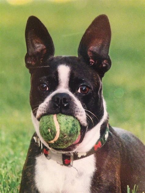 boston terrier puppies louisiana boston terrier louisiana photo