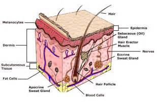 what gives skin its color structure and function of the skin