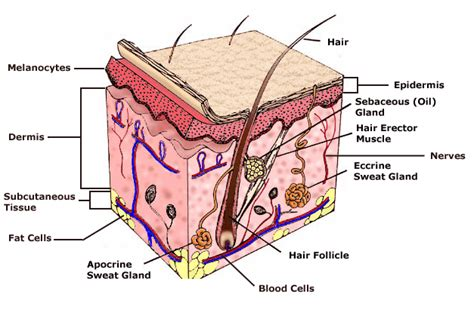 diagram of the skin healthy skin american skin association
