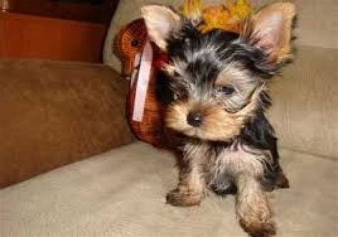 teacup yorkies for sale 500 teacup dalmatian puppies breeds picture