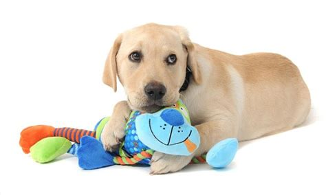 new puppy guide new tool can spot which puppies could be guide dogs daily mail