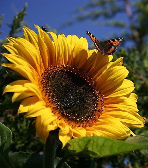 kansas sunflower 50 state flowers 1 pinterest best 25 sunflower flower ideas on pinterest tattoo