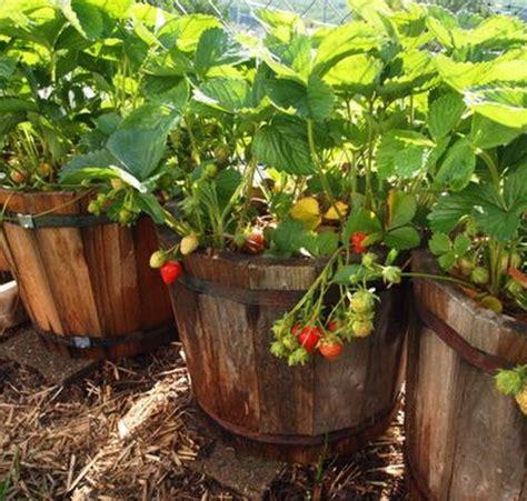 Bibit Tanaman Strobery California tanaman strawberry california bibitbunga