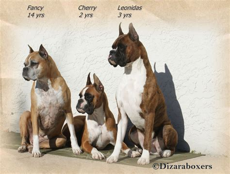 boxer puppies florida dizara boxers