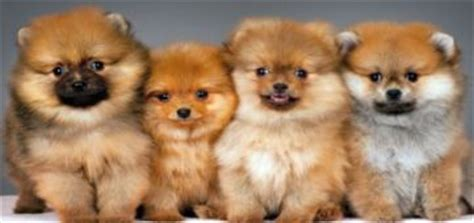 countryside pomeranians pomeranian puppies are you ready to get one
