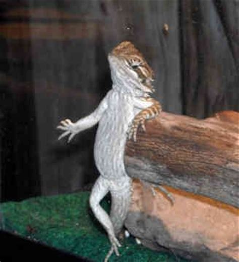 27 best reptiles and hibians images on pinterest 9 best images about bearded dragons on pinterest sexy
